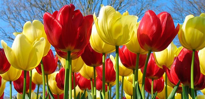 cuidados-de-los-tulipanes-botanicos